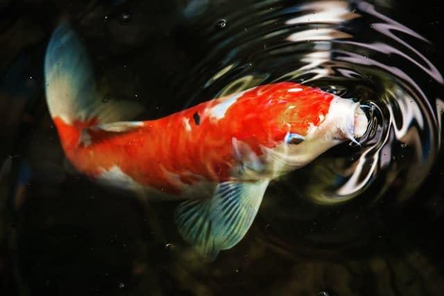 Cá chép gắn liền với hình ảnh vượt vũ môn hóa rồng