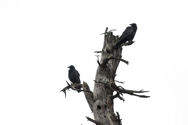 Quạ là một trong những con vật có khả năng nhìn thấy ma
